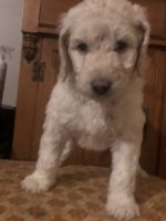 Aussie Doodles Puppies for sale in Harrison, AR 72601, USA. price: NA
