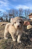 Aussie Doodles Puppies for sale in Eagle, NE 68347, USA. price: NA