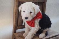 Aussie Doodles Puppies Photos
