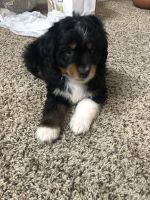 Aussie Doodles Puppies for sale in 416 Carriage Pl Ct, Decatur, GA 30033, USA. price: NA