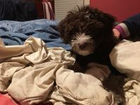 Aussie Doodles Puppies for sale in Oregon City, OR 97045, USA. price: NA