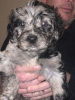 Aussie Doodles Puppies for sale in Las Vegas, NV 89138, USA. price: NA