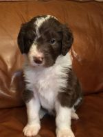 Aussie Doodles Puppies for sale in Hollywood, FL, USA. price: NA