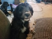 Aussie Doodles Puppies for sale in Orleans, IN 47452, USA. price: NA