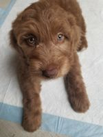 Aussie Doodles Puppies for sale in Richardson, TX 75082, USA. price: NA