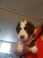 Aussie Doodles Puppies for sale in Rimini, SC 29125, USA. price: NA