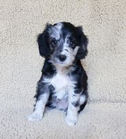 Aussie Doodles Puppies for sale in Ontario, CA, USA. price: NA