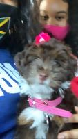 Aussie Doodles Puppies for sale in North Lauderdale, FL, USA. price: NA