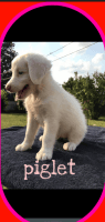 Aussie Doodles Puppies for sale in Huber Heights, OH 45424, USA. price: NA
