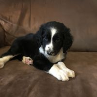 Aussie Doodles Puppies for sale in Covington, KY 41011, USA. price: NA