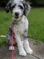 Aussie Doodles Puppies for sale in Richmond Heights, OH 44143, USA. price: NA