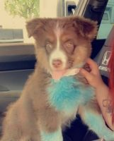 Aussie Doodles Puppies for sale in Lexington, OK 73051, USA. price: NA