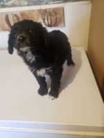 Aussie Doodles Puppies for sale in Ainsworth, NE 69210, USA. price: NA