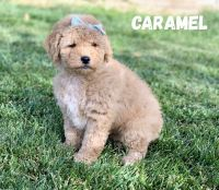 Aussie Doodles Puppies for sale in Orem, UT, USA. price: NA