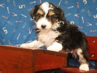 Aussie Doodles Puppies for sale in Shawnee, OK, USA. price: NA