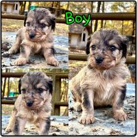 Aussie Doodles Puppies for sale in Stockton, MO 65785, USA. price: NA