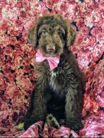 Aussie Doodles Puppies for sale in Newark, DE, USA. price: NA