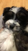 Aussie Doodles Puppies for sale in Waterbury, CT, USA. price: NA