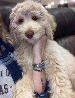 Aussie Doodles Puppies for sale in Maysville, KY 41056, USA. price: NA