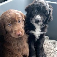 Aussie Doodles Puppies for sale in Cincinnati, OH, USA. price: NA