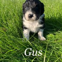 Aussie Doodles Puppies for sale in Nashville, TN, USA. price: NA