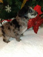 Aussie Doodles Puppies for sale in Lumberton, NC, USA. price: NA