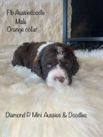 Aussie Doodles Puppies for sale in Iola, TX 77861, USA. price: NA