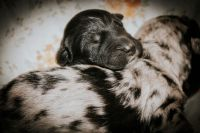 Aussie Doodles Puppies for sale in Livingston, TN 38570, USA. price: NA