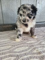 Aussie Doodles Puppies for sale in Atlanta, GA, USA. price: NA