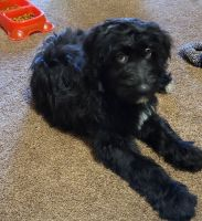 Aussie Doodles Puppies for sale in Scarbro, WV 25917, USA. price: NA