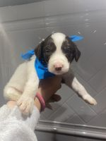 Aussie Doodles Puppies for sale in Saraland, AL, USA. price: NA