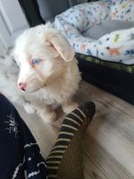 Aussie Doodles Puppies for sale in Mt Laurel Township, NJ 08054, USA. price: NA