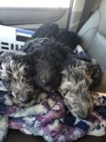 Aussie Doodles Puppies for sale in Glens Falls, NY 12804, USA. price: NA