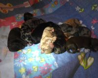 Aussie Doodles Puppies for sale in Belmont, NC 28012, USA. price: NA