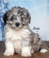 Aussie Doodles Puppies for sale in North Adams, MI 49262, USA. price: NA
