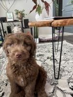 Aussie Doodles Puppies for sale in New Orleans, LA, USA. price: NA