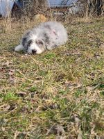 Aussie Doodles Puppies for sale in Wooster, OH 44691, USA. price: NA