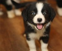 Aussie Doodles Puppies for sale in Fresno, CA, USA. price: NA