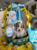 Aussie Doodles Puppies for sale in 5462 US-80, Grand Saline, TX 75140, USA. price: NA