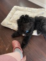 Aussie Doodles Puppies for sale in Little Elm, TX, USA. price: NA