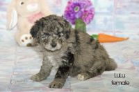 Aussie Doodles Puppies for sale in Clare, MI 48617, USA. price: NA