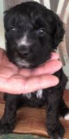 Aussie Doodles Puppies for sale in Sanger, CA 93657, USA. price: NA
