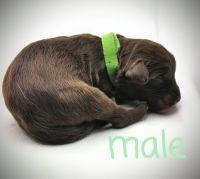 Aussie Doodles Puppies for sale in Suffolk, VA, USA. price: NA