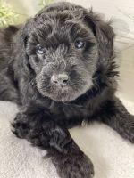 Aussie Doodles Puppies for sale in Prosper, TX 75078, USA. price: NA