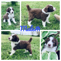 Aussie Doodles Puppies for sale in Quebeck, TN 38579, USA. price: NA