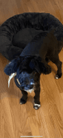 Aussie Doodles Puppies for sale in Tyngsborough, MA, USA. price: NA