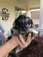 Aussie Doodles Puppies for sale in Ashland, KY, USA. price: NA