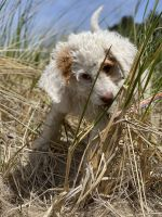 Aussie Doodles Puppies for sale in Portland, OR, USA. price: NA