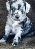 Aussie Doodles Puppies for sale in Dallas, TX, USA. price: NA