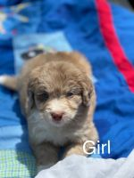 Aussie Doodles Puppies for sale in Tennessee Colony, TX 75861, USA. price: NA